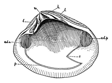Bivalve Mollusk inner surface depression showing the attachment of the anterior adductor muscle, vintage line drawing or engraving illustration. Ilustrace