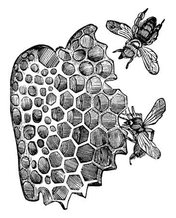 Le cellule delle api da miele sono costruite proprio su quell'angolo matematico, sul disegno di linee vintage o sull'illustrazione dell'incisione.
