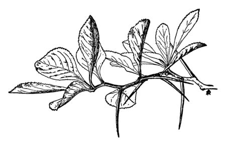 A picture showing the twig of a thorn-tree of which most thorns are pointed downward, vintage line drawing or engraving illustration.
