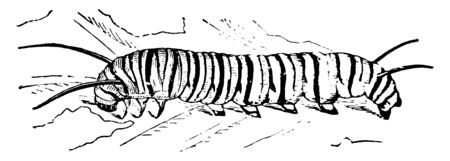 Milkweed Butterfly Larva which is a fleshy caterpillar, vintage line drawing or engraving illustration.