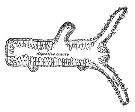 Section of a hydra which will form a young one, vintage line drawing or engraving illustration.