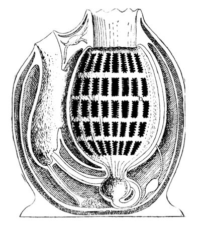 Tunicate is a marine invertebrate animal, vintage line drawing or engraving illustration.