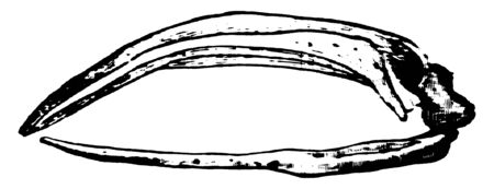 Greenland Whale uses this massive jaw to filter food from water while it swims, vintage line drawing or engraving illustration. Reklamní fotografie - 133040726