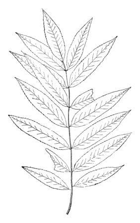A picture of Mountain Ash (Sorbus), which is a genus of small trees. Plants are deciduous, lack thorns, and have simple or pinnate leaves. Creamy white flowers form large, flat-topped clusters, vintage line drawing or engraving illustration.