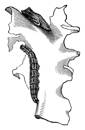 This illustration represents Checkered White Butterfly Larva and Chrysalis, vintage line drawing or engraving illustration.