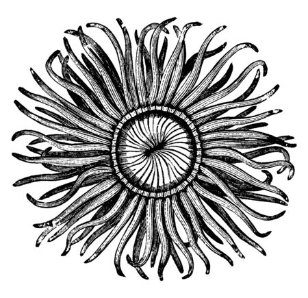 Mouth of the sea anemone tinged with a variety of bright lively colors, vintage line drawing or engraving illustration. Stock Illustratie