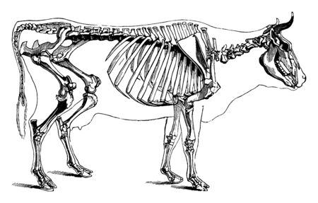 Cow Skeleton is the internal structure of vertebrate animals, vintage line drawing or engraving illustration.