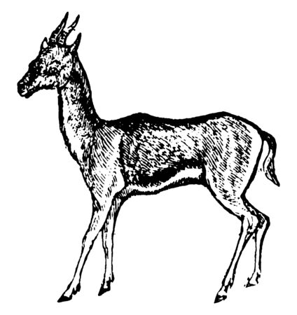Gazelle is any of many antelope species in the genus Gazella or formerly considered to belong to it, vintage line drawing or engraving illustration.
