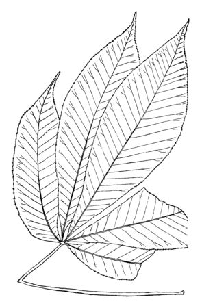 A picture showing the leaf of Birch tree which is a tree thirty to sixty feet high with many slender branches, vintage line drawing or engraving illustration.
