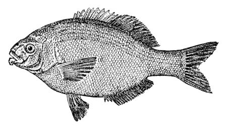 Perch is an embiotocoid fish, vintage line drawing or engraving illustration.