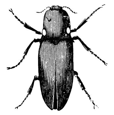 Lightning Spring Beetles have hard wings, vintage line drawing or engraving illustration. Foto de archivo - 133042589