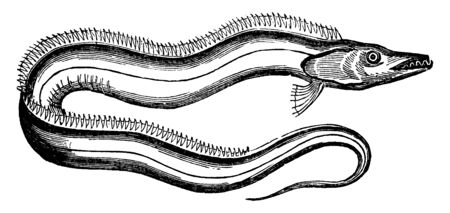 Silvery Hairtail is two to four feet long, vintage line drawing or engraving illustration.