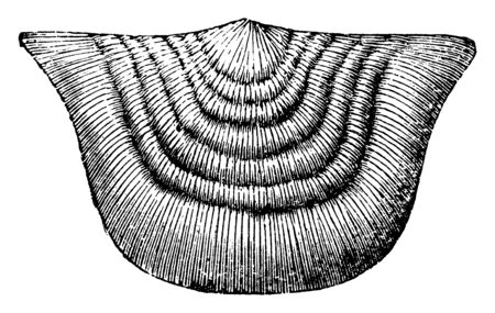 Strophomena Mollusk radiate from the Paleozoic time, vintage line drawing or engraving illustration.