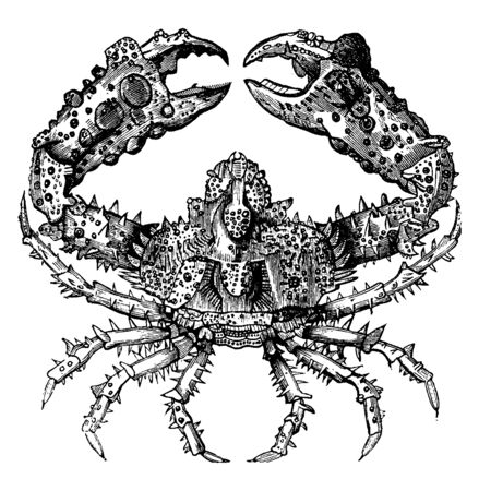 Parthenope horrida is a native of the Atlantic and Indian Oceans, vintage line drawing or engraving illustration. Иллюстрация