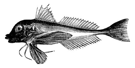 Piper is a species of gurnard, vintage line drawing or engraving illustration.