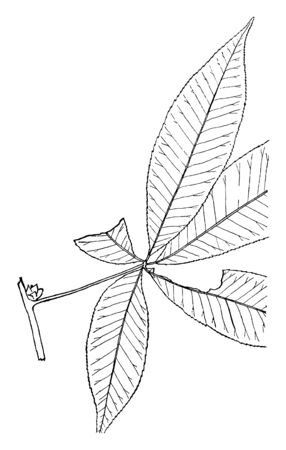 The genus Aesculus with varieties called buckeye and horse chestnut flowering plants in the soapberry and lychee family Sapindaceae, vintage line drawing or engraving illustration.