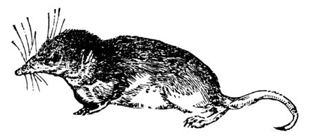 Shrew is a small mole like mammal classified in the order Eulipotyphla, vintage line drawing or engraving illustration.