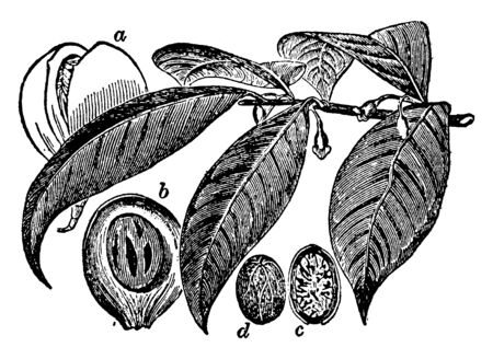 Nutmeg is a tropical evergreen tree and the spice made of its seed. It is mainly grown in Indonesia. It boosts immune system, prevents Leukemia and improves blood circulation, vintage line drawing or engraving illustration.