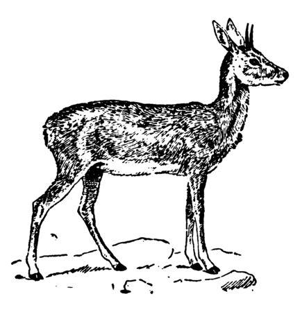 Steinbok est une petite antilope d'Afrique du Sud et de l'Est, un dessin de ligne vintage ou une illustration de gravure.