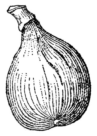 A sketch of Fig kept vertically. One can easily see outer lines clearly on Fig, vintage line drawing or engraving illustration. Иллюстрация