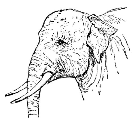 Indian Elephant is one of three recognized subspecies of the Asian elephant and native to mainland Asia, vintage line drawing or engraving illustration.