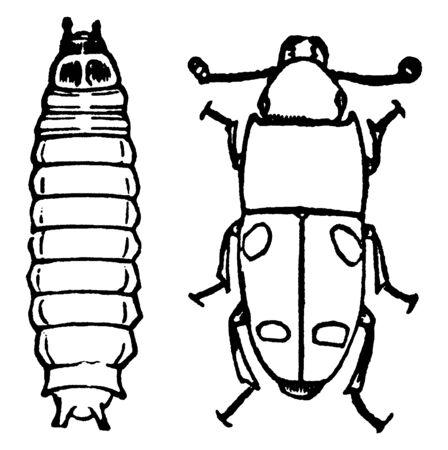 This illustration represents Bark Beetle, vintage line drawing or engraving illustration. Reklamní fotografie - 133436281