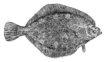 Flatfish is a member of the order Pleuronectiformes of ray finned demersal fishes, vintage line drawing or engraving illustration.