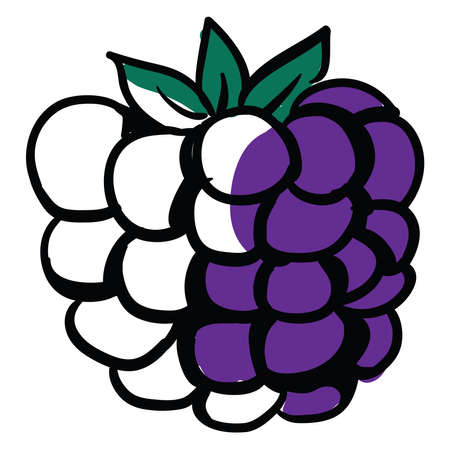Drawing of blackberry, illustration, vector on white background.