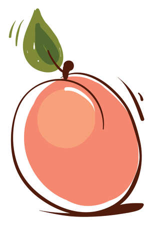 Apricot sketch, illustration, vector on white background.
