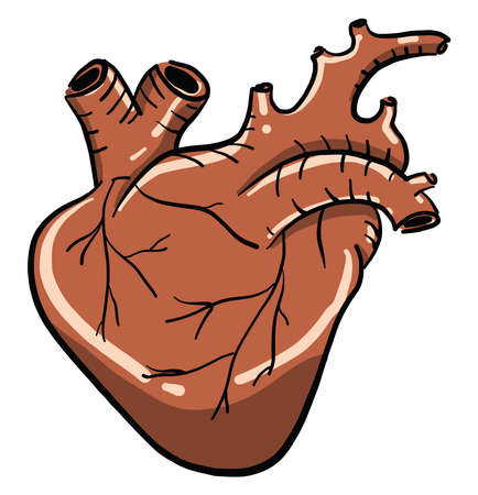 Human heart, illustration, vector on white background