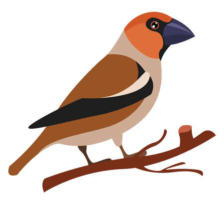 Hawfinch, illustration, vector on white background