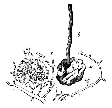This illustration represents Sweat Gland, vintage line drawing or engraving illustration.