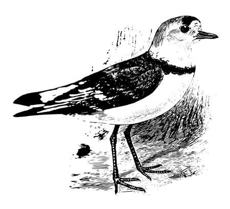 Piping Plover is a small ring necked plover of North America, vintage line drawing or engraving illustration.