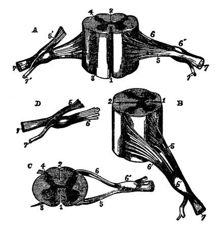 Different views of a portion of the spinal cord from the cervical region with roots of the nerves slightly enlarged, vintage line drawing or engraving illustration.