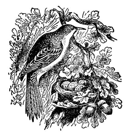 Common Creeper is strongly resemble the woodpeckers in their habit of creeping, vintage line drawing or engraving illustration.