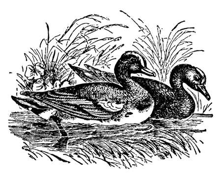 This illustration represents Wigeon, vintage line drawing or engraving illustration.