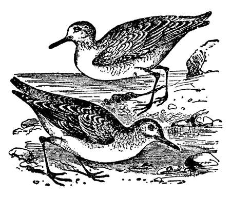Sanderling is a class of wading birds of the snipe family, vintage line drawing or engraving illustration.
