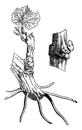 This illustration represents Single Eye which is performed by cutting the branches into short lengths, vintage line drawing or engraving illustration.