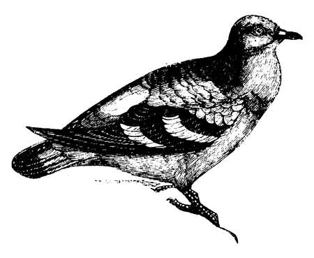 Wood Pigeon is slaty grey with bluish green and rose coloured reflections, vintage line drawing or engraving illustration. Ilustración de vector