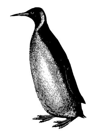 Penguin is excellent swimmers and divers, vintage line drawing or engraving illustration.