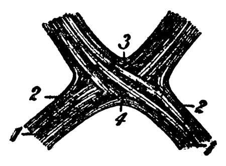 This illustration represents The Optic Chiasma, vintage line drawing or engraving illustration.