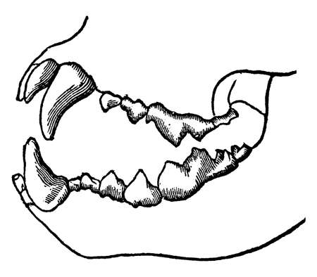 Teeth of a carnivorous animal that lives on flesh alone, vintage line drawing or engraving illustration.