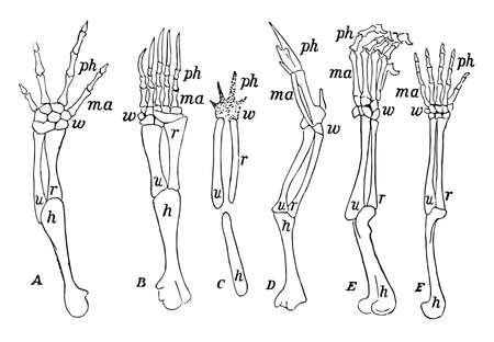 Fore limbs of vertebrates showing similarity of structure, vintage line drawing or engraving illustration. Çizim