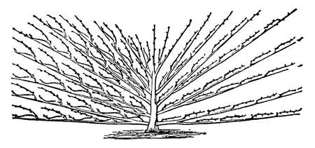 This illustration represents Seymour Fan which will be seen that the bearing shoots are all on the upper side of the mother branches, vintage line drawing or engraving illustration.