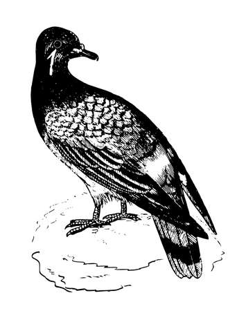 Pigeon is distinguished by their slender feet which are adapted for perching, vintage line drawing or engraving illustration.
