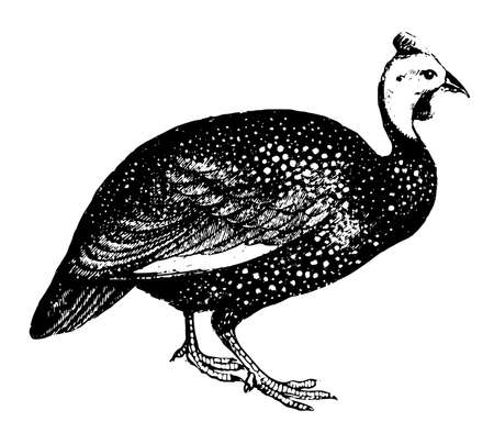 This illustration represents Guinea Fowl, vintage line drawing or engraving illustration. Vector Illustration