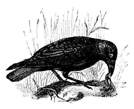 Carrion Crow is a passerine bird of the family Corvidae, vintage line drawing or engraving illustration. Vector Illustration