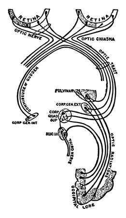 This illustration represents Optic Nerve and Optic Tract, vintage line drawing or engraving illustration. 向量圖像