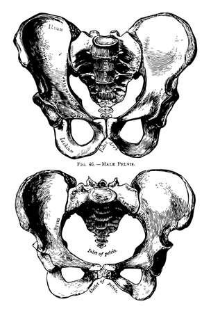 This illustration represents Human Pelvis Male and Female, vintage line drawing or engraving illustration. Ilustracje wektorowe