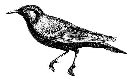 Starling is remarkable for their vivacity and grave, vintage line drawing or engraving illustration.